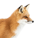 Fox in white background