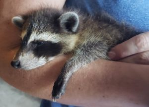 Raccoon held by a man
