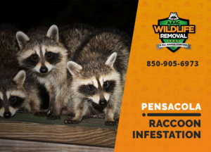 infested by raccoons pensacola