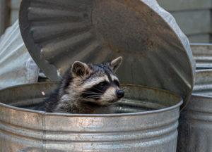 Raccoon in a bin