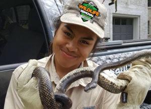 Wildlife Trapper holding captured snake