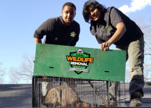Two wildlife techs with a trapped Raccoon