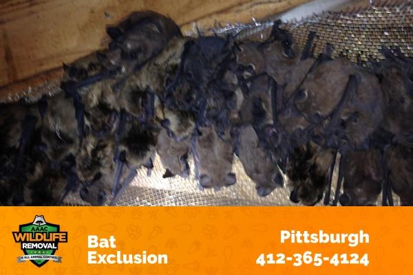 Bats Caught using Bat Exclusion