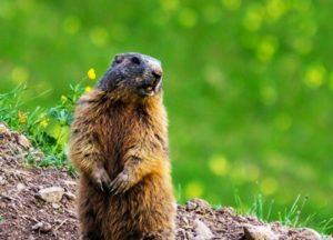 groundhog in the garden