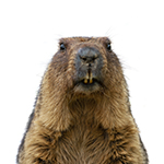 Groundhog on a white background