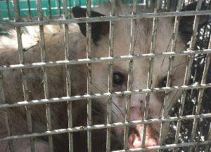 Opossum caught in a trap