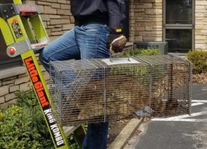 Raccoon removed from Fox Chapel