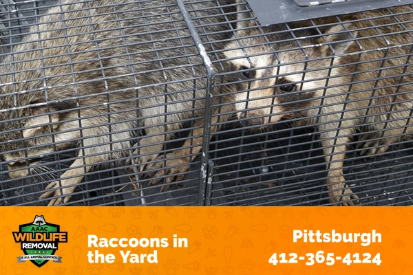 Raccoons Caught in a Trap
