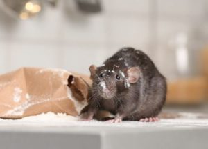 rat eating snacks in the kitchen