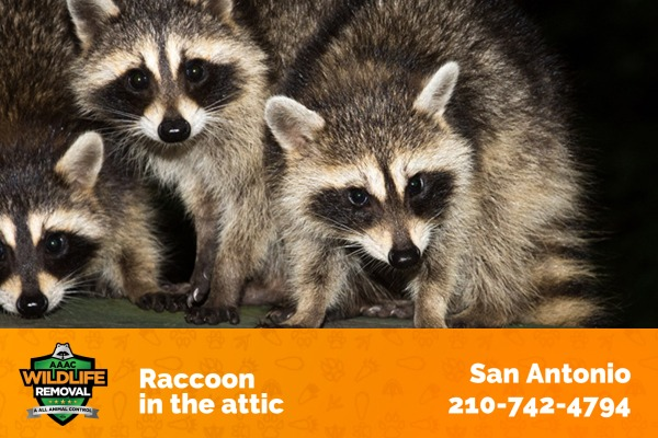 Raccoons residing in a Home Attic
