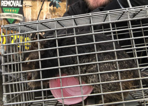An unhappy squirrel trapped and removed from Bulverde home.