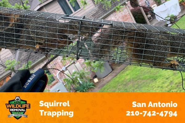 Squirrel Trapping in San Antonio