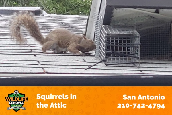 Squirrels Sneaking to a Home Attic