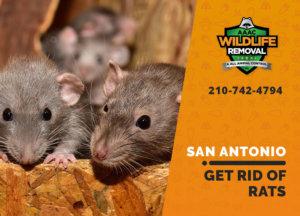 get rid of rats san antonio
