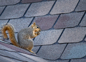 Squirrel in a roof