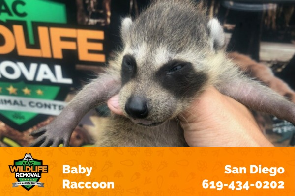 Wildlife Removal Technician Holding a Baby Raccoon