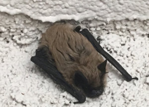 A bat clinging to wall
