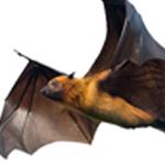 A bat on a white background