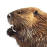 A beaver on a white background