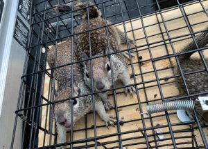 Three Ground Squirrels caught in a trap