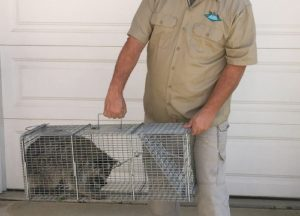 Man holding a cage with trapped raccoon inside