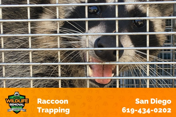 Raccoon Captured in a Trap