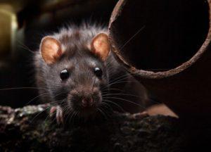 Rat in attic next to pipe