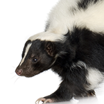 A skunk on a white background