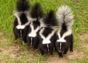 Skunks walking through a yard in San Diego