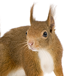A squirrel on a white background