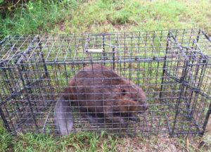 Beaver caught in a trap
