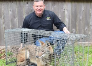 Man caught Coyote in a trap