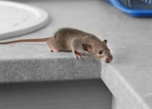 Mouse in the kitchen countertop