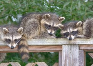 Three raccoons sitting on a wood fence