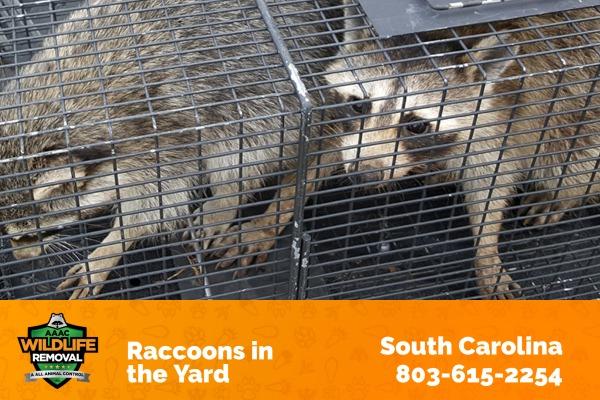 Raccoons in the Yard South Carolina