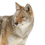 A coyote on a white background