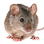 A mouse on a white background