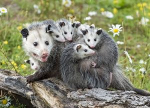 A family of opossums standing on a tree branch