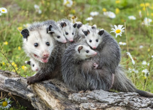 A family of opossums standing in a tree branch