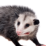 Opossum on a white background