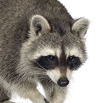 A raccoon on a white background