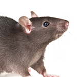 A rat on a white background