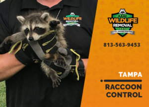 raccoon control tampa
