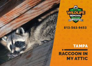 raccoon stuck in attic tampa