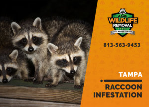 infested by raccoons tampa