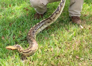 Snake rescued by wildlife removal pro