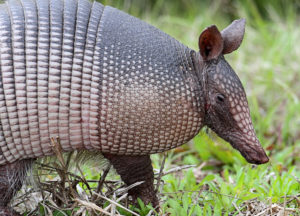 Armadillo standing on a grass field