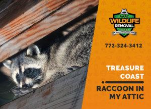 raccoon stuck in attic treasure coast