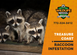 infested by raccoons treasure coast