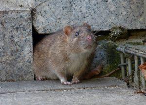 North River Shores Wildlife Removal professional removing pest animal